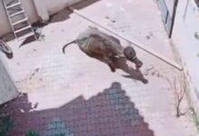 صورة شاهد ..عجل يطارد 3 رجال قبل ذبحه بعيد الأضحى