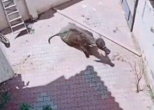 Photo of شاهد ..عجل يطارد 3 رجال قبل ذبحه بعيد الأضحى
